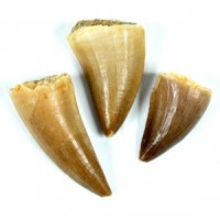 Wholesale Crystals Healing Shapes Crystal Fossil Mosasaur Teeth