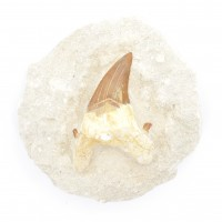 Shark Tooth On Matrix Large Fossil