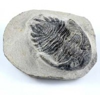 Crystal Natural Australia Wholesale Fossil Trilobite