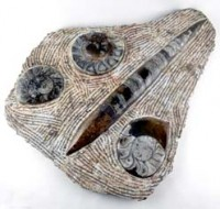 Crystals Australia Wholesalers Natural Crystal Fossils Ammonite and Orthoceras Plate
