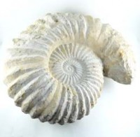 Crystals Australia Wholesalers Natural Crystal Fossils Ammonite