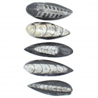 Orthoceras Fossil Fully Polished